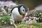 Puffin Noss, Shetland Isles