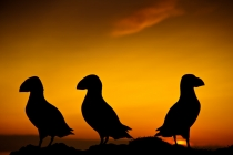 Silhouetted puffins