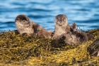 Three Shetland otter cubs play fight