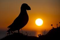 Shetland Puffin at sunset