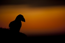 Shetland Puffin last of the light