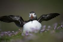 Shetland Puffin wing stretch