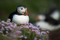 Shetland Puffin sat in sea thrift