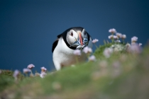 Shetland Puffin bringing in fish