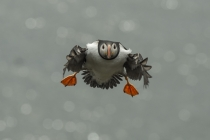 Shetland Puffin coming in