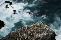 Nesting gannets (Morus bassanus) and swirling seas