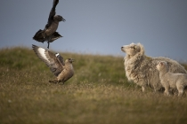 Great skua, bonxie, Shetland Islands