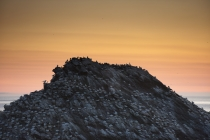 Gannet colony at sunset.