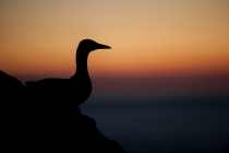 Silhouette of a gannet (Morus bassanus) during the midsummer night