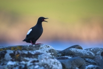 Black guillemot, Shetland Isles