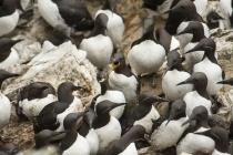 Guillemot, Shetland Isles