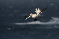 Shetland Gannets