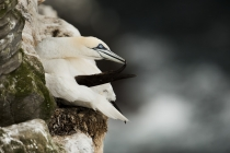 Gannets (Morus bassanus) on the cliffs of Noss