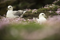 Fulmars, Shetland Isles