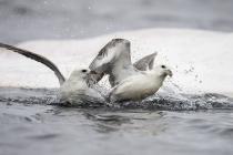 Fulmar feeding on a dead whale, Shetland Isles