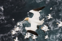 Gannets, Shetland Isles