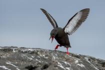 Black Guillemots, Shetland Islands