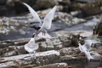 Arctic Tern feeding chicks on Mousa, Shetland.
