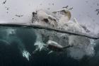 Underwater gannets, Shetland Isles