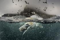 Gannet bubbles