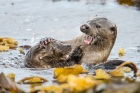 Mum and cub play fight, Otters in Shetland