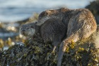 Mum and cub rest on the shore, Shetland otters