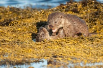 Two Shetland otter cubs play fight