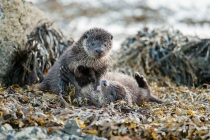 Two Shetland otters play fight
