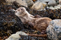 Sleeping otter on the rocky shore.