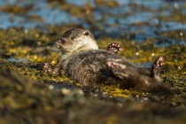 Three Shetland otters play fight on sheltered coast