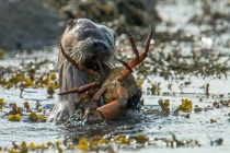 Shetland otter comes in with a crab