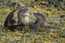 Two cubs play fight, Otters in Shetland