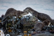 Mum and cub, Otters in Shetland