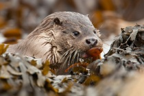 Otter and the butterfish, Shetland otters