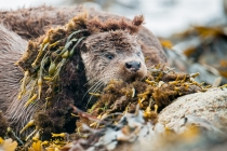 Shetland otter cub with a seaweed wig