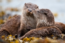 Two Shetland otter cubs showing affection