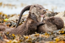 Two Shetland Otter cubs play fighting