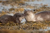 Female otter and her cub, Otters in Shetland