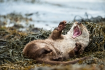 Otter (Lutra lutra) yawning and stretching on a seaweed covered shore, Shetland Isles