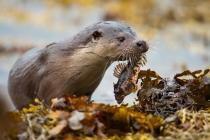 Otter (Lutra lutra) bringing a Scorpion fish (Taurulus bubalis) ashore on the Shetland Isles.