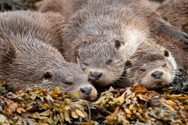 Otters (Lutra lutra) mum and two cubs sleeping, Shetland Isles.