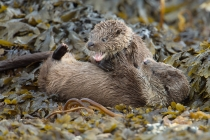 Female and her cub play fight, Otters in Shetland