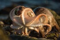 Mum brings a big Octopus, Otters in Shetland