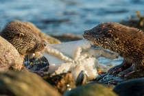 Two Shetland otter cubs feed on a octopus