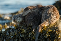 Shetland otter, mum and cub