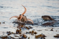 Mum coming in with an octopus, Otters in Shetland
