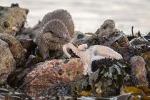 Cub eating an octopus, Shetland otter