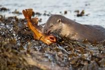 Otter (Lutra lutra) Shetland Isles.