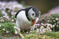 Shetland Puffin collecting grass for the nest