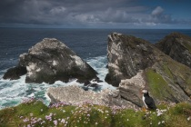 Shetland Puffin in the landscape